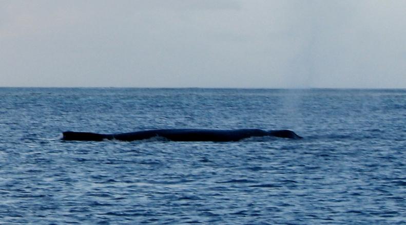 Whale cruising the line. Credit Birnie