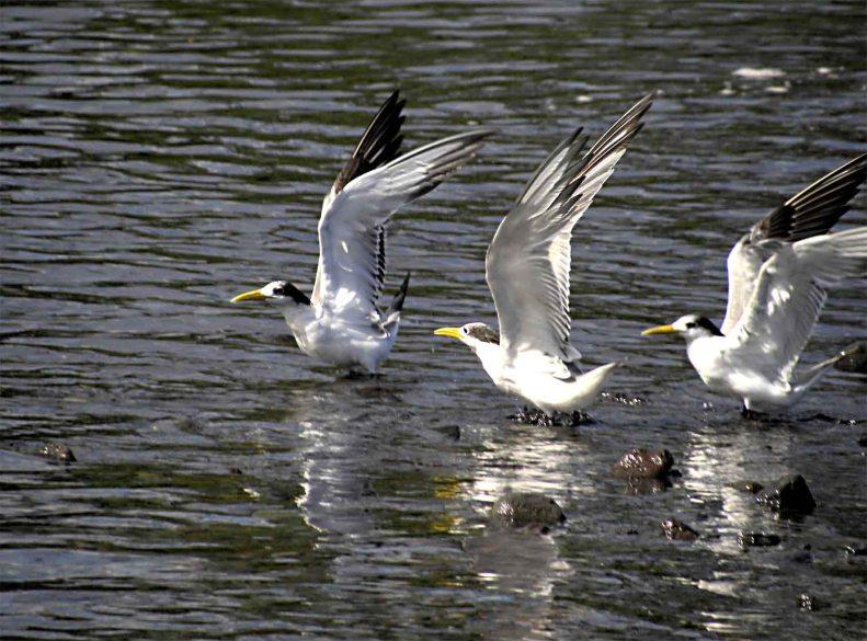 SB02 Whitt Birnie seabirds  ID: Greater-Crested Tern, sterna bergii, sterne huppée.
