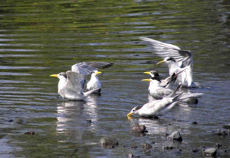 SB03 Whitt Birnie seabirds: Greater-Crested Tern, sterna bergii, sterne huppée.