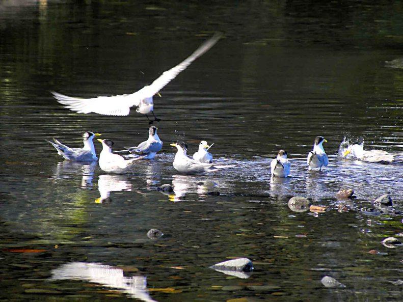 SB04 Whitt Birnie seabirds:  Greater-Crested Tern, sterna bergii, sterne huppée. Tahiti