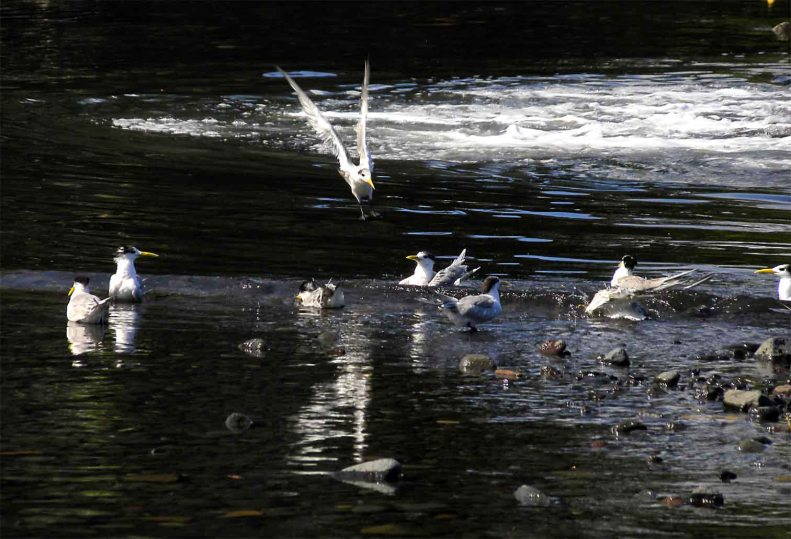 SB05 Whitt Birnie, seabirds of Tahiti: Greater-Crested Tern, sterna bergii, sterne huppée.