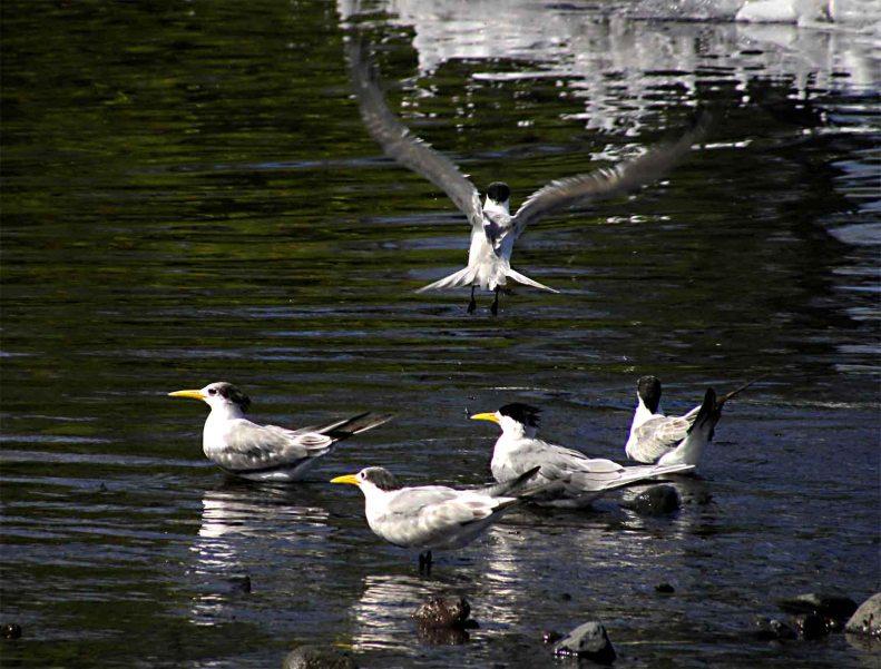 SB06 Whitt Birnie, Tahitian seabirds: Greater-Crested Tern, sterna bergii, sterne huppée.