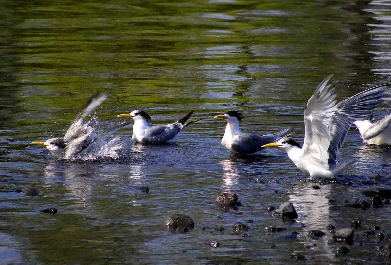SB07 Whitt Birnie, Tahitian seabirds:  Greater-Crested Tern, sterna bergii, sterne huppée.
