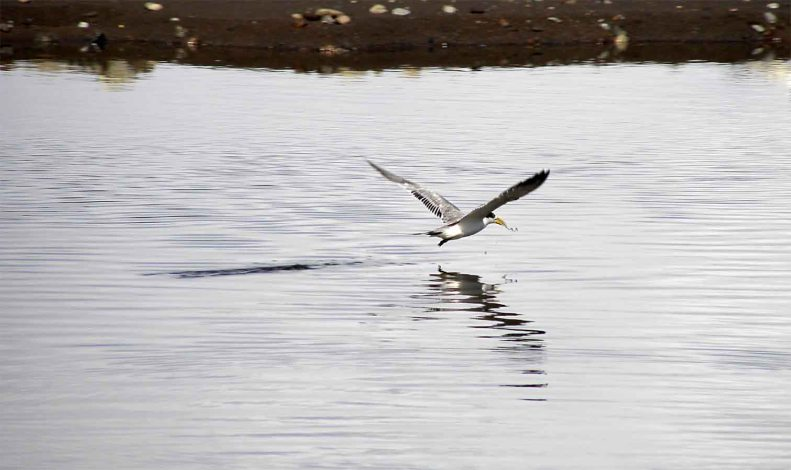 SB08 Whitt Birnie. Tahitian  seabirds:  Greater-Crested Tern, sterna bergii, sterne huppée.