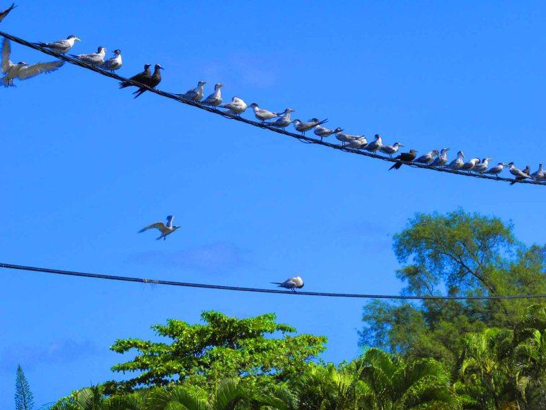 SB14 Whitt Birnie. Tahitian seabirds: Greater-Crested Tern, sterna bergii, sterne huppée.