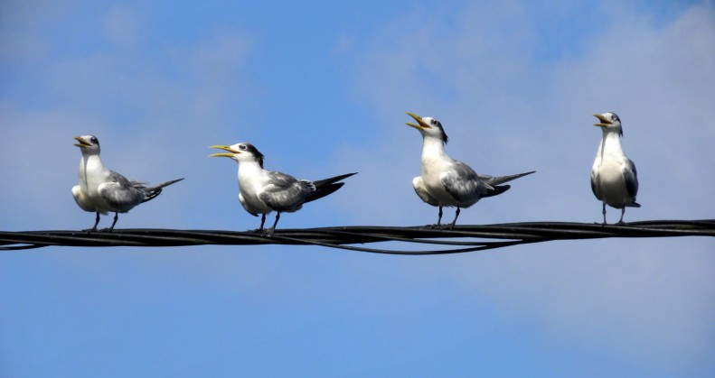 "SB15 Whitt Birnie. Tahitian seabirds: Greater-Crested Tern, sterna bergii, sterne huppée. ""On the line"""