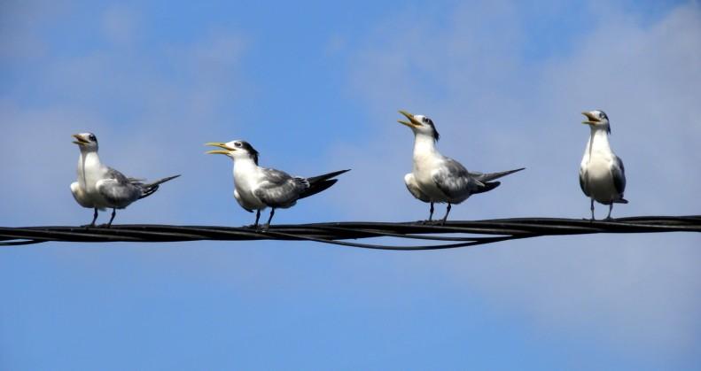 "SB15 Whitt Birnie. Tahitian seabirds: Greater-Crested Tern, sterna bergii, sterne huppée. ""On the line"""