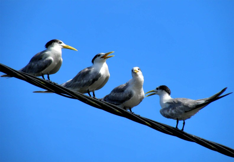 SB16 Whitt Birnie. Four Greater-Crested Tern, (sterna bergii, sterne huppée) on the internet cables in Tahiti..